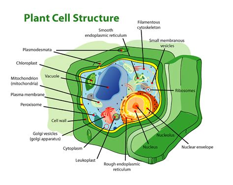 plant cell diagram labeled labeled cell diagrams high quality diagram site