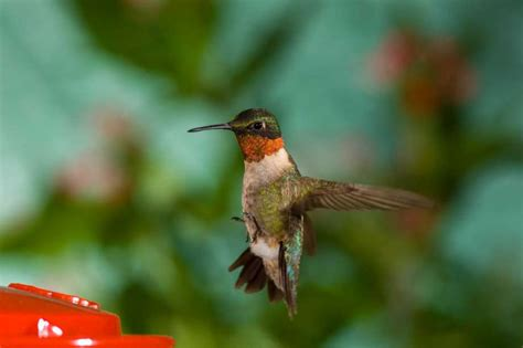 hummingbirds head to feeders and flowers to refuel