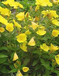 Yellow Flower Perennials - gallery for gt yellow perennial