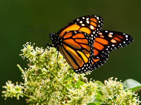 imagenes de mariposas monarcas en 207 la mariposa monarca monarca aumenta respecto a