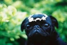 pug cocaine 1000 images about pugs on pug a pug and the pug