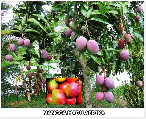 Bibit Tanaman Mangga Kio sewa tanaman landscape jual bibit mangga kio 1 5