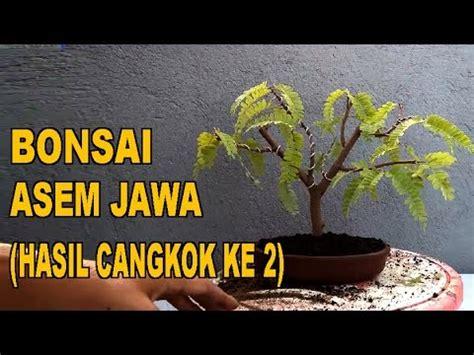 Bakalan Bonsai Asem Jawa bonsai asem jawa hasil cangkok ke 2