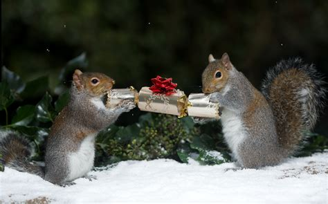squirrels  nuts  christmas pulling crackers  stealing decorations caters news agency