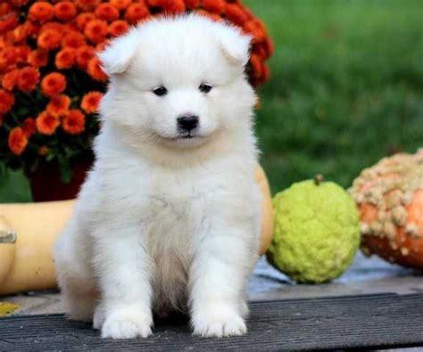 samoyed puppies for adoption samoyed puppies for adoption for sale adoption from new