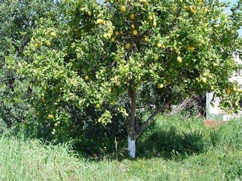 albero di limone in vaso albero limone potatura albero di limone