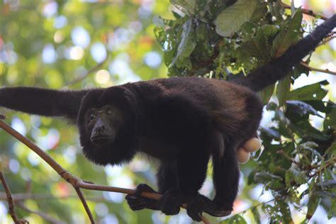 costa rica turisti per caso cahuita spider monkey viaggi vacanze e turismo
