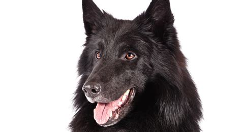 akc breeds belgian sheepdog breed information american kennel club