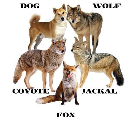 are coyotes dogs difference between wolf jackal coyote and fox hubpages