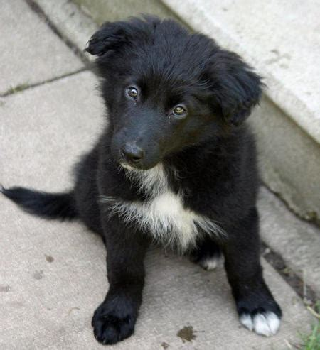border collie mix puppies karma the border collie mix puppies daily puppy