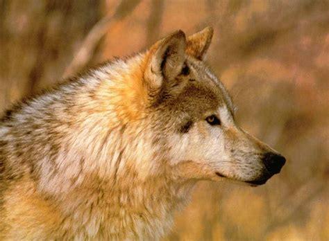 gray wolf other friendship white grey wolf