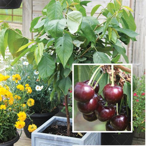 Patio Fruit Plants cherry patio fruit tree d t brown fruit trees