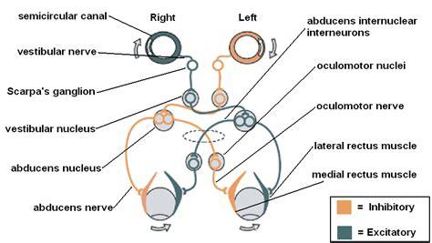 vestibulocochlear reflex vestibular pathway simplified epomedicine