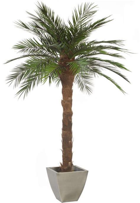 palme in vaso palma piante stabilizzate