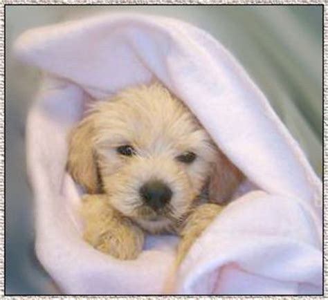 goldendoodle puppy growth 46 best images about goldendoodle info on