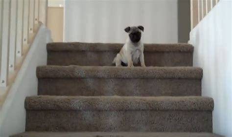 pug stairs a tiny pug puppy conquer the stairs like a aww