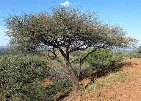 vachellia nilotica subsp kraussiana wikipedia