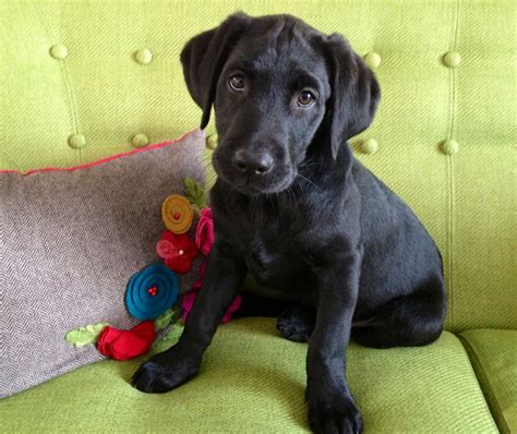 labrador dogs ready now black labrador merriott somerset pets4homes