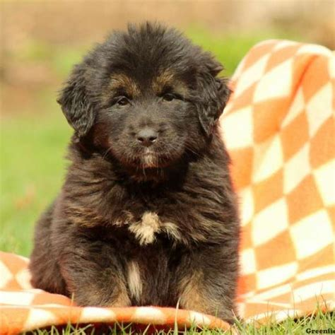 tibetan mastiff puppy tibetan mastiff puppies for sale