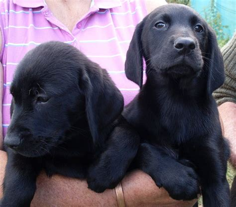 german shorthaired lab puppies german shorthaired pointer x labrador retriever march cambridgeshire pets4homes