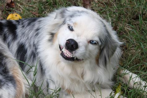 how to australian shepherd pictures images page 2