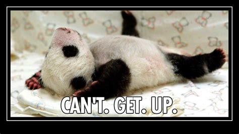 Meme Panda - panda meme memes