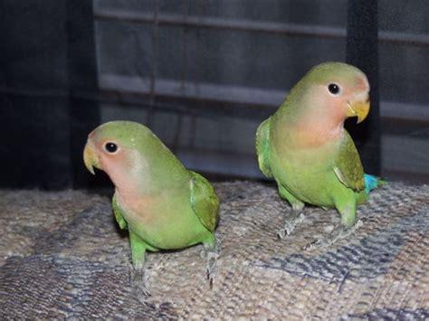 gabbia pappagalli inseparabili pappagalli inseparabili pappagalli caratteristiche dei
