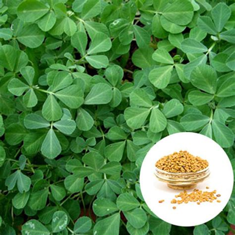 fenugreek seed extract powder novoherb