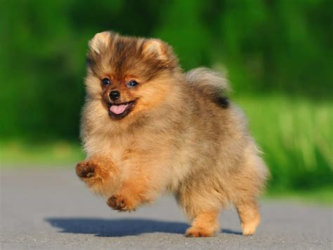expectancy of a pomeranian the breeds that live the business insider