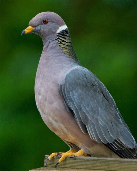 backyard pigeons 28 images pigeon breeds backyard