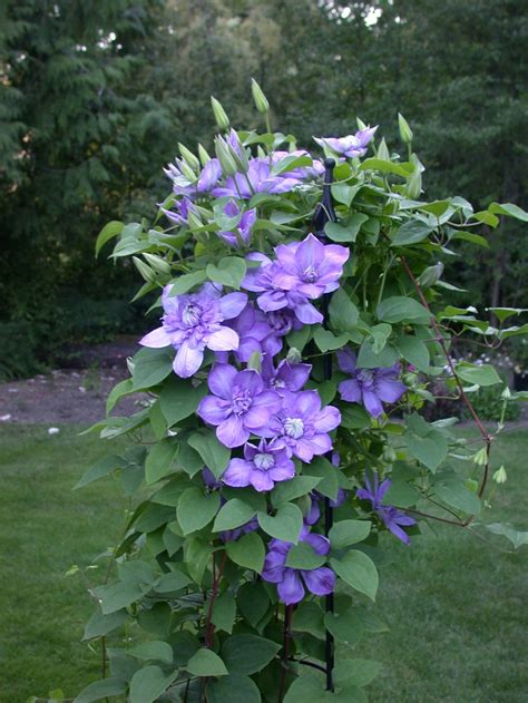 3 easy ways to plant clematis with pictures wikihow blue light clematis flowering vine flowers to grow