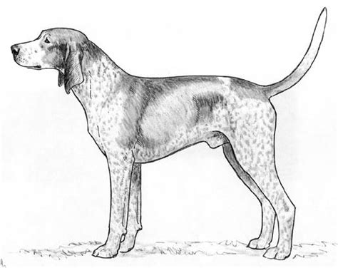 coon hound coloring pages