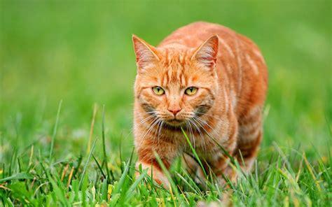 wallpaper cat orange download wallpaper 2560x1600 orange cat on green grass hd