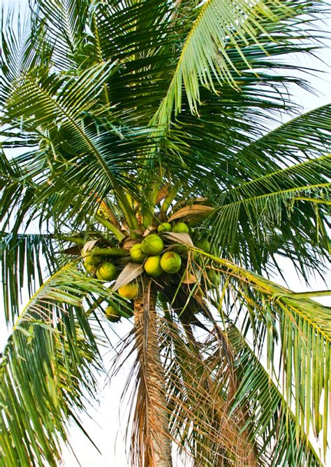 Coconut Tree pictures of coconut tree www imgkid the image kid