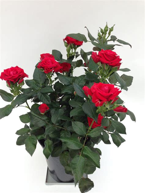 sweet home roses roses