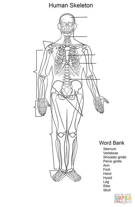 human skeleton worksheet coloring page free printable