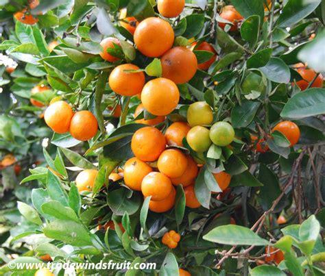 Benih Biji Jeruk Kalamondin Citrus Microcarpa pin calamondin citrus mitis on
