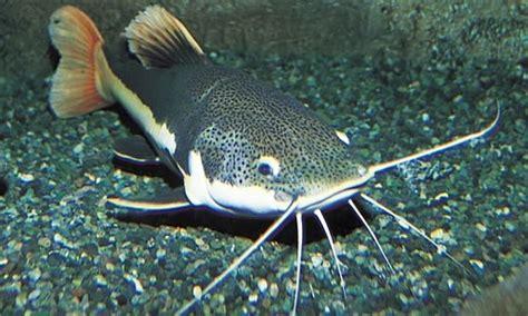 Harga Bibit Lele Ukuran 34 jenis ikan hias air tawar