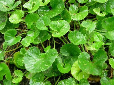 Obat Herbal Thomson pegagan tanaman dengan khasiat luar biasa pembawa umur panjang pencerdas otak ilmu
