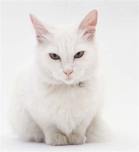 white cat just cats 4 white cats waiting