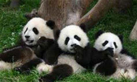 Box Animal Besar panda lucu dari tiongkok 171 animals box