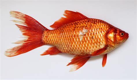 umpan mancing ikan mas ikan tombro alami  kroto