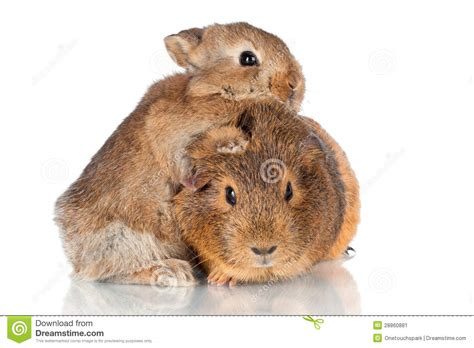 Put Your Chicken Or Rabbit Or Guinea Pig In An Omlet Omlet Eglu by Adorable Baby Rabbit Hugging Guinea Pig Stock Image