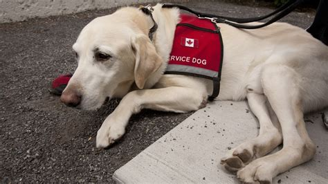 emotional support breeds emotional support dogs vs service dogs what s the difference