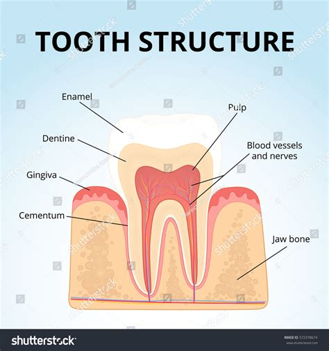 cross section of tooth structure human teeth medical diagram structure stock