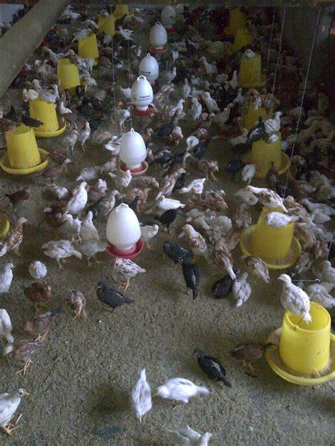 Bibit Ayam Jawa ayam kung ayam jawa dan bibit ayam doc