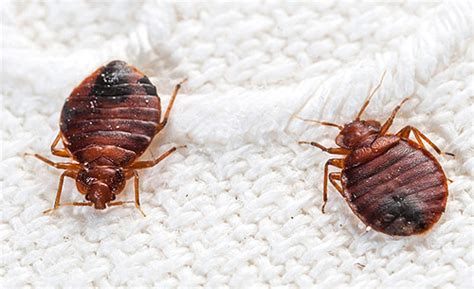 Is It Possible To Only One Bed Bug by How To Check For Bed Bugs Signs Of Bed Bugs And How Do