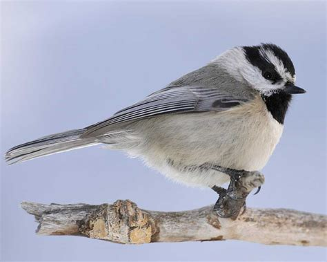 mountain chickadee audubon field guide