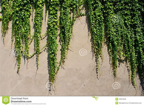 climbing plants for walls climbing green plants on the wall stock photo