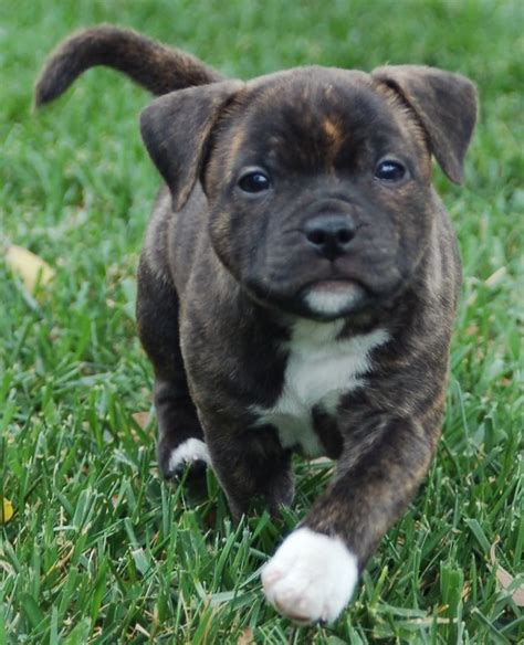 staffordshire terrier puppies our staffordshire bull terrier puppies cornsnakes forums bully breed